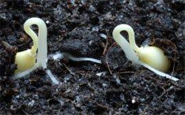 Размножение растений семенами