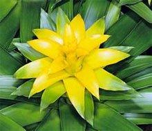 Жёлтый цветок гусмании