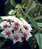 Ампельная Hoya bella