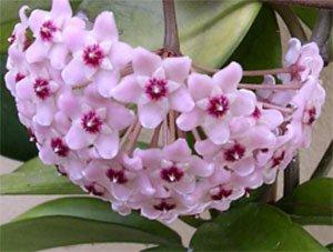 Цветение хойи, или воскового плюща