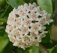 Цветки воскового плюща