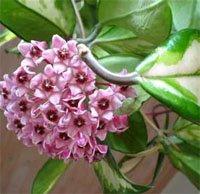 Цветки хойи