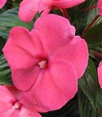 Цветы у бальзамина могут быть разной окраски