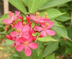 Цветки ятрофы