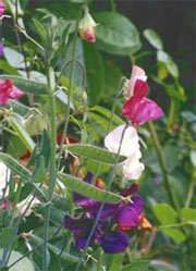 Душистый горошек (Lathyrus odoratus)