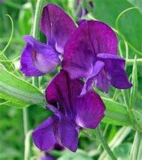 Фиолетовая расцветка цветков душистого горошка