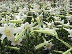 Лилия - Lilium longiflorum