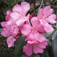 Цветки олеандра просто прелесть!