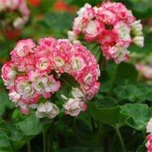 Пеларгония садовая (Pelargonium hortorum)