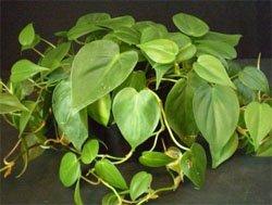 Филодендрон лазящий (Philodendron scandens)