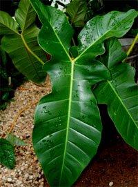 Листья филодендрона гитаровидного