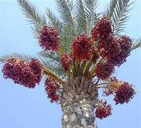 Финиковая пальма (Phoenix dactylifera)