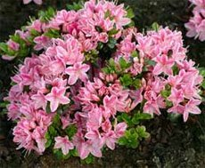 У Рододендрона тупого (Rhododendron obtusum) цветки более мелкие