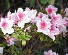 Азалия индийская (Rhododendron simsii)