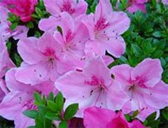Рододендрон Симса (Rhododendron simsii)