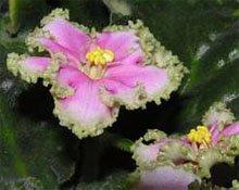 Цветки сенполии