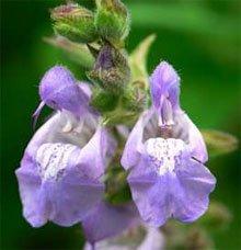 Цветки шалфея лекарственного