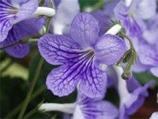Сиреневые цветки стрептокарпуса