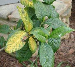 У растения желтеют листья