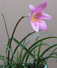 Зефирантес крупноцветковый (Zephyranthes grandiflora)