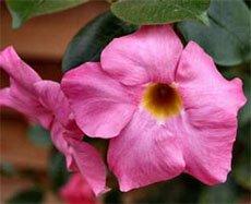 Цветок дипладении Сандера