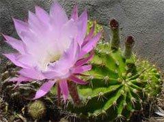 Цветение эхинопсиса острогранного