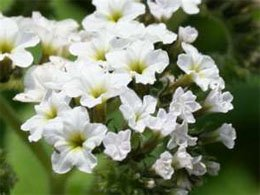 Цветки гелиотропа