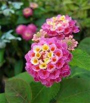 Удивительно цветущая лантана