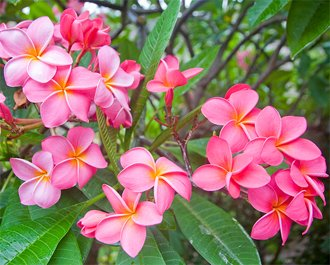 Розовые цветки плумерии
