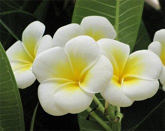Белые цветки плумерии