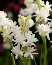 Цветки туберозы