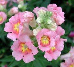 Цветки антирринума