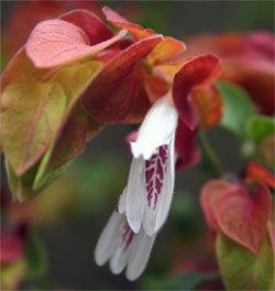 Белые цветки белопероне