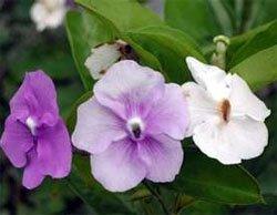 Цветки брунфельсии