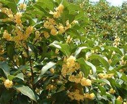 Цветение османтуса пахучего