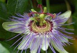Цветок страстоцвета
