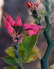 Цветение педилантуса