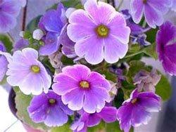 Цветки примулы обратноконической