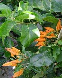 Хуануллоа оранжевая