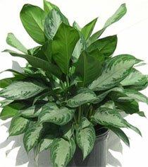 Домашние растения с длинными листьями