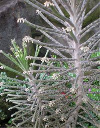 Бриофиллум трубкоцветнный