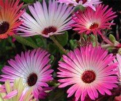 Полуденник косматоцветковый