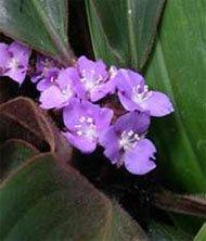 Цветки сидерасиса