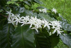 Цветки кофейного дерева