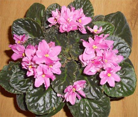 Цветение розовой сенполии