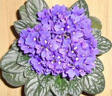 Цветение фиолетовой сенполии