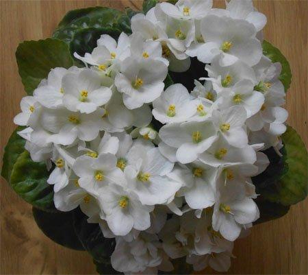 Цветение белой фиалки