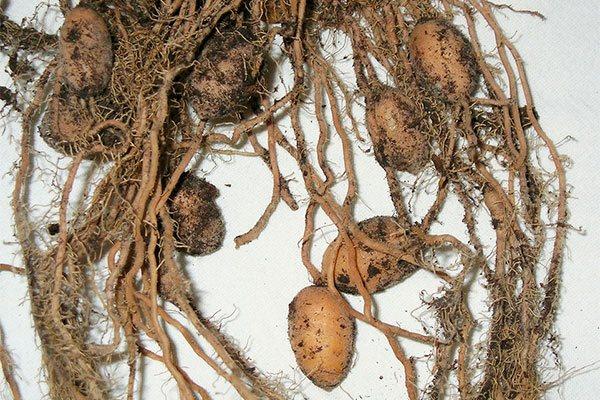 корни маранты