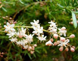 Цветки аспарагуса Шпренгера