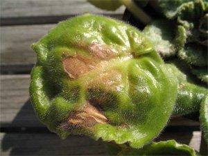 Коричневые пятна на листьях сенполии